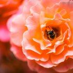 Die Biene weiß genau, wo sie die guten Dinge finden kann. Foto: Diana Macesanu